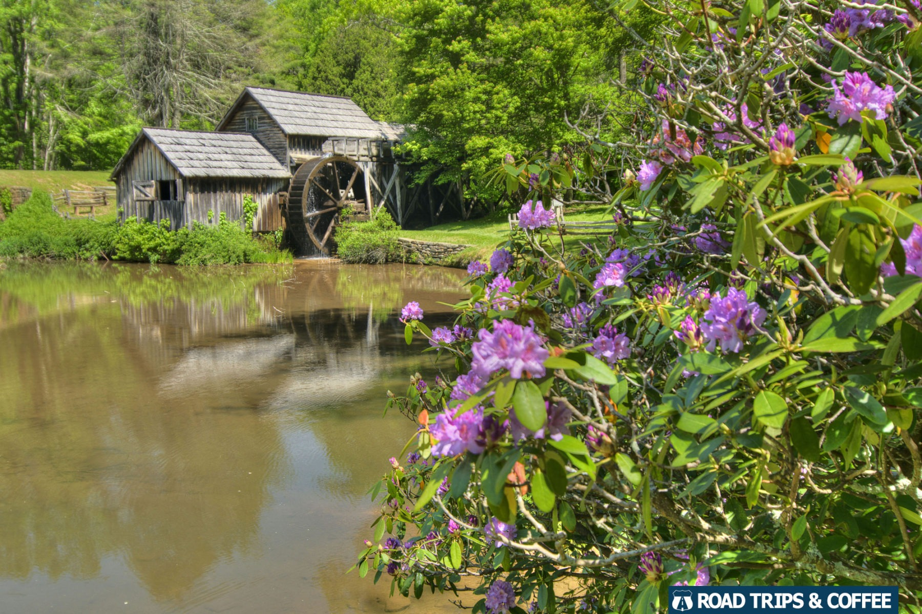 Blooming purple rhododendron bushes beside a small pond at Mabry Mill on the Blue Ridge Parkway in Virginia