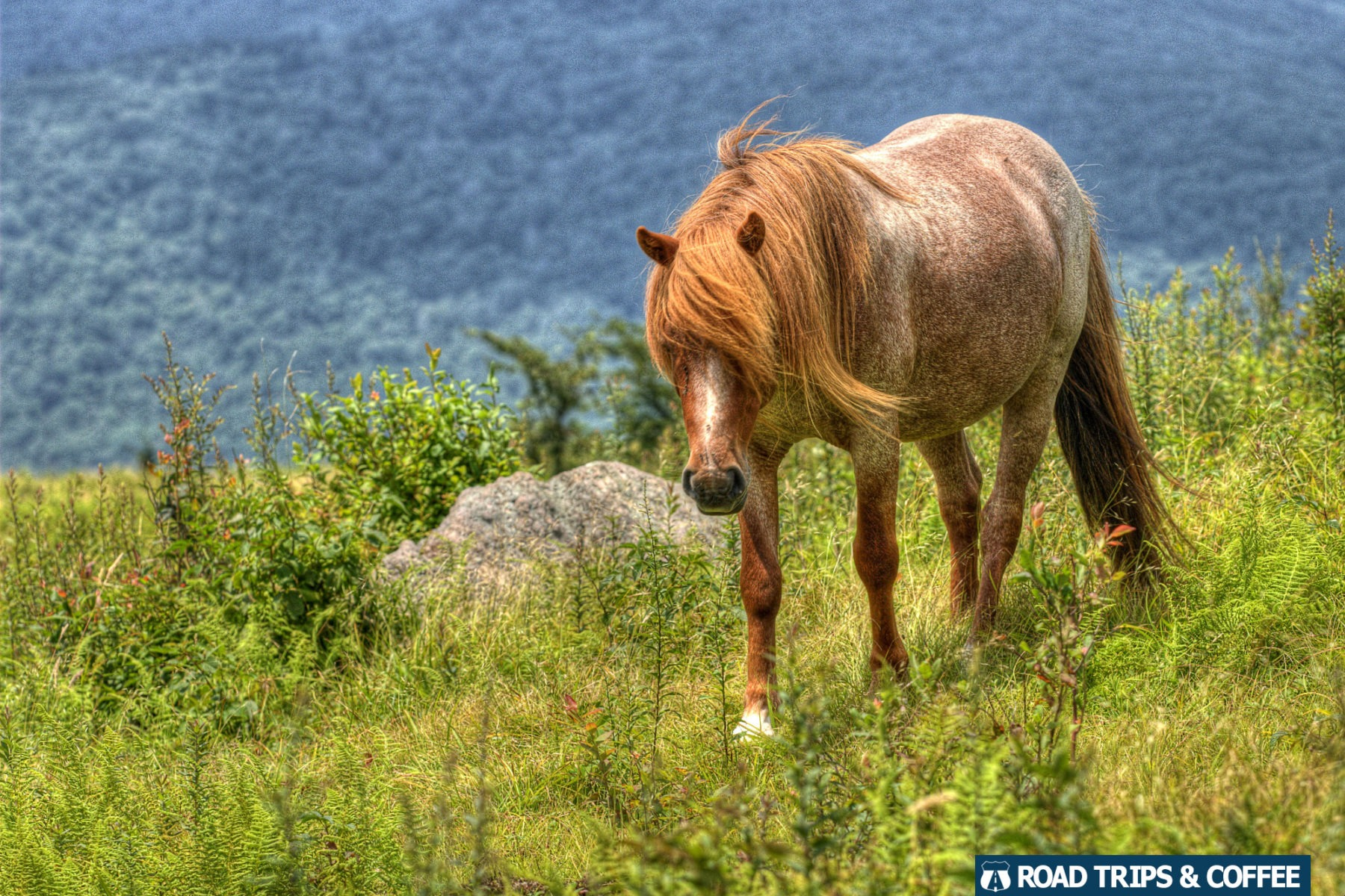 Wild pony in a field along the Appalachian Trail near Grayson Highlands State Park in Virginia