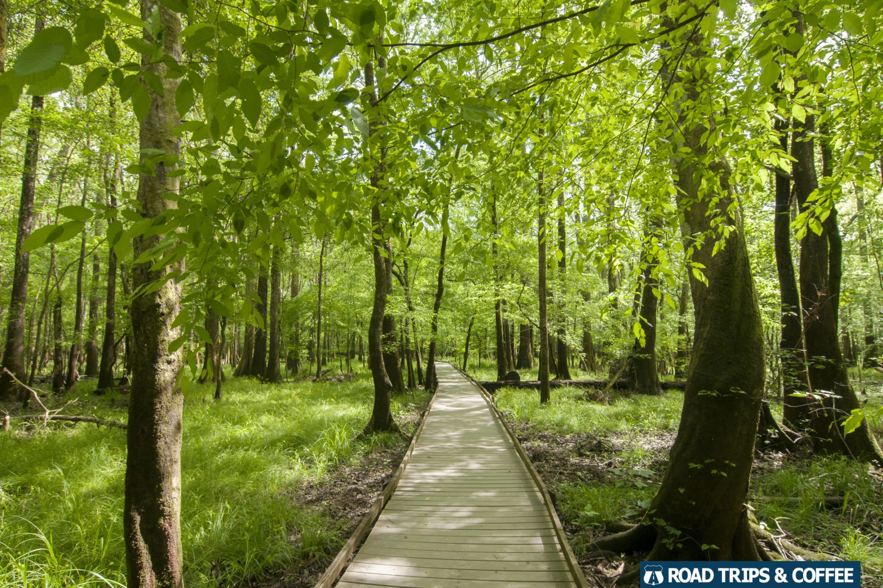 A long wooden boardwalk trails off into the distance surrounded by towering green trees at Congaree National Park in South Carolina