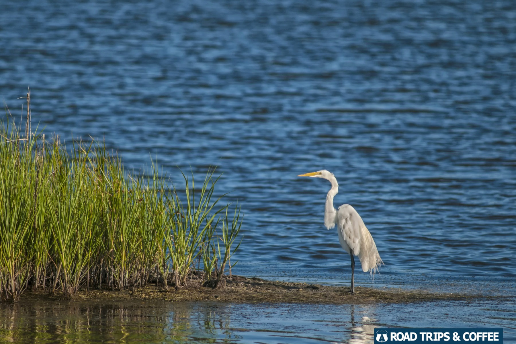 A great egret standing on a small island surrounded by blue water at Huntington Beach State Park in Murrells Inlet, South Carolina