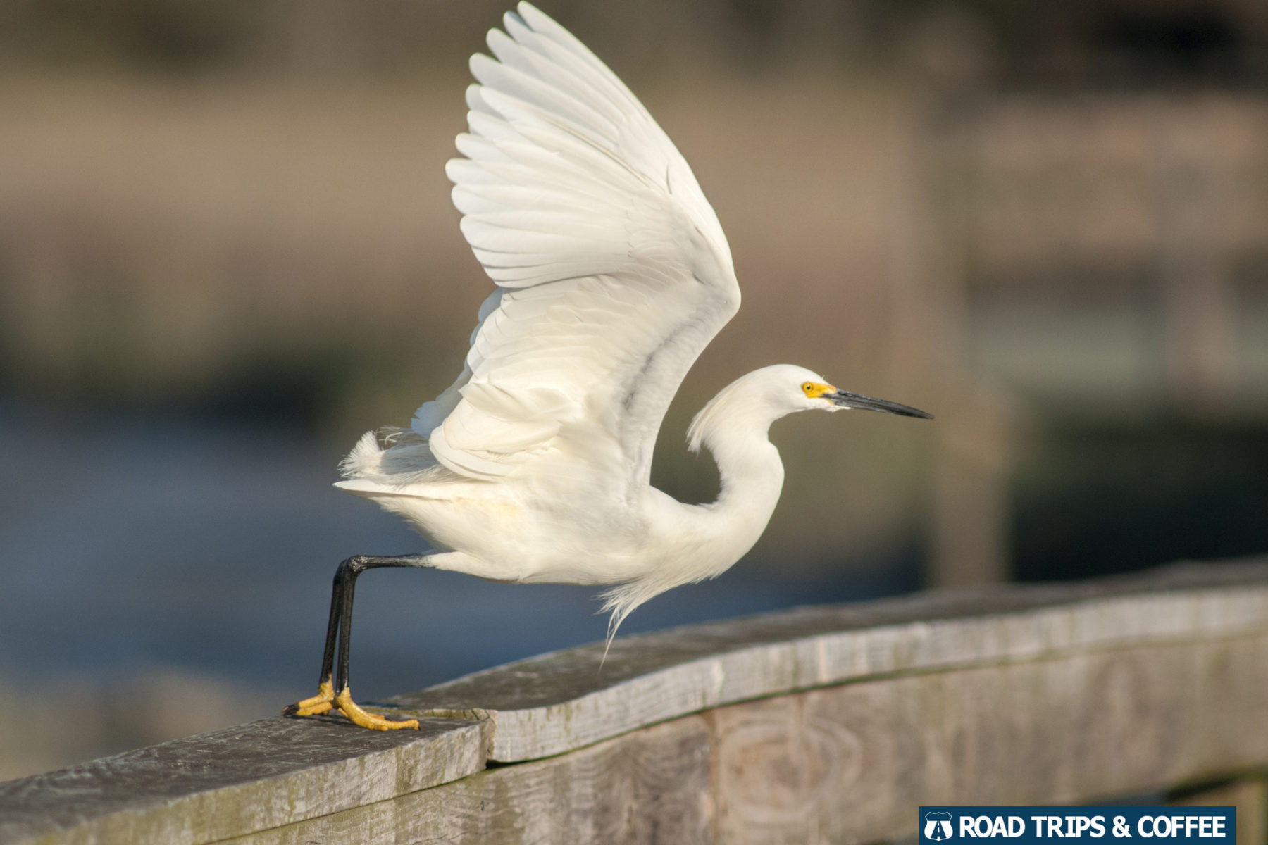 A snowy egret takes flight at Huntington Beach State Park in Murrells Inlet, South Carolina