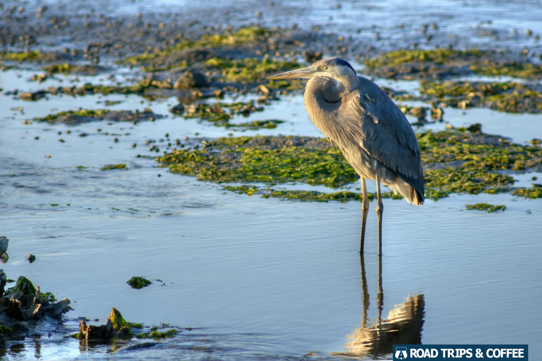 A blue heron stands in the shallow water at Huntington Beach State Park in Murrells Inlet, South Carolina