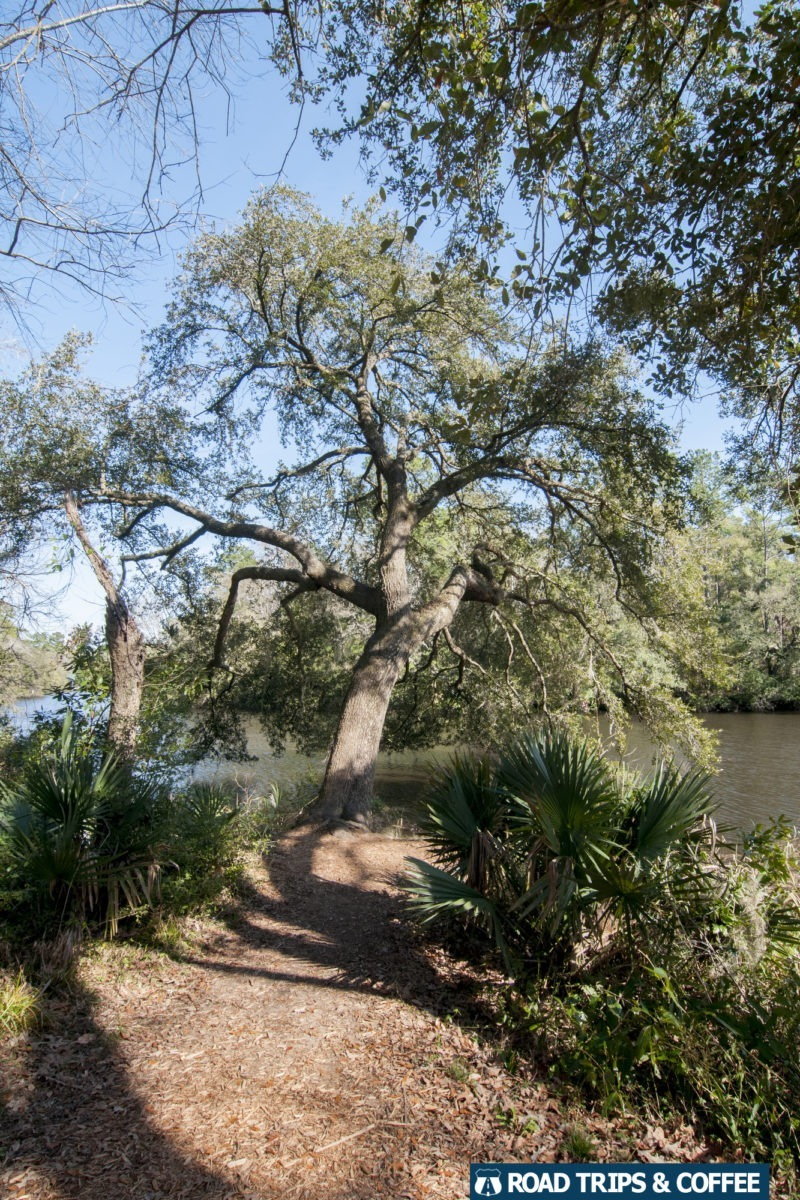A tall oak tree leaning over the Ashley River at the end of a hiking trail at Colonial Dorchester State Historic Site in Summerville, South Carolina