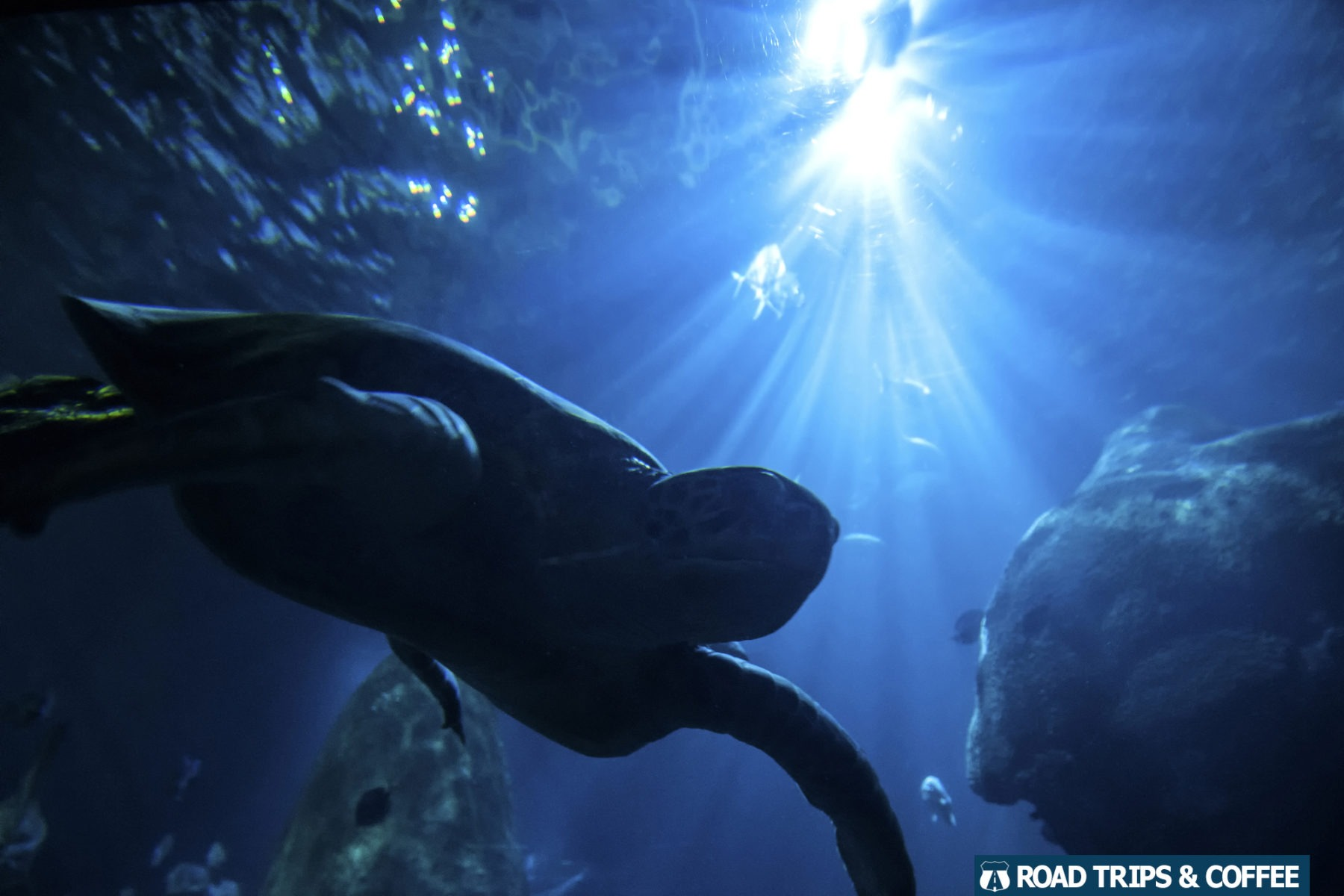 A large turtle swims through a massive tank at the Tennessee Aquarium in Chattanooga, Tennessee