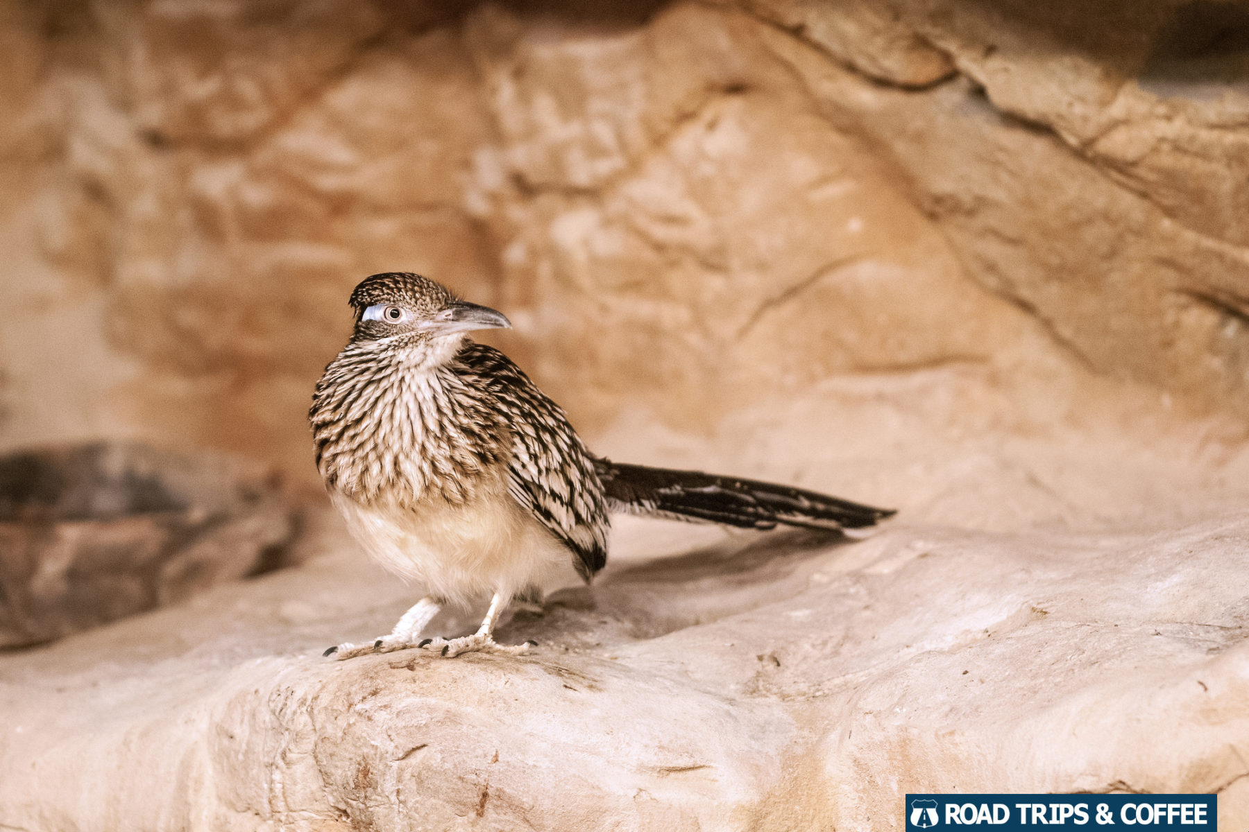 A small brown road runner bird at the Chattanooga Zoo in Chattanooga, Tennessee