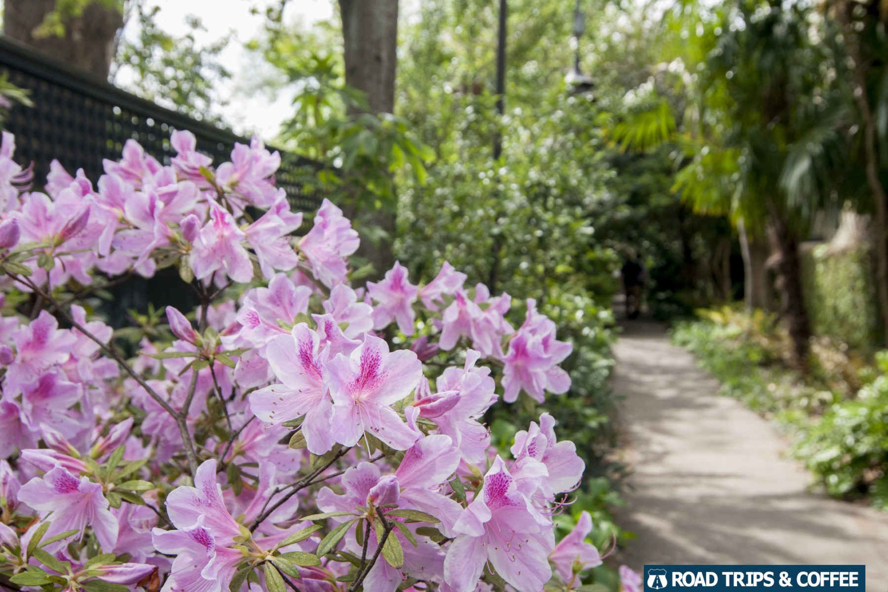 Pink flowers bloom along a trail through Charleston, South Carolina