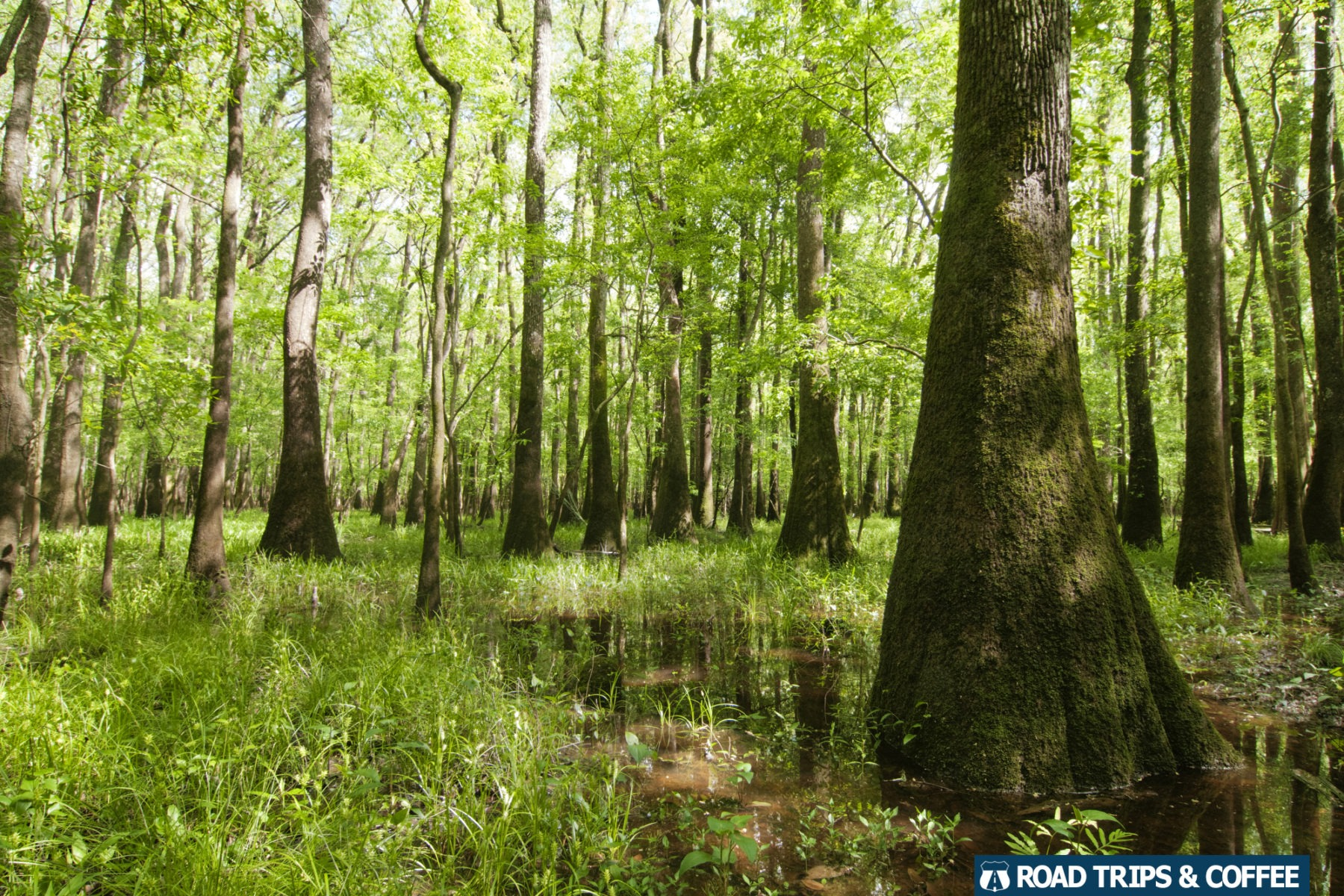 Towering, thick trees in a swamp at Congaree National Park in South Carolina