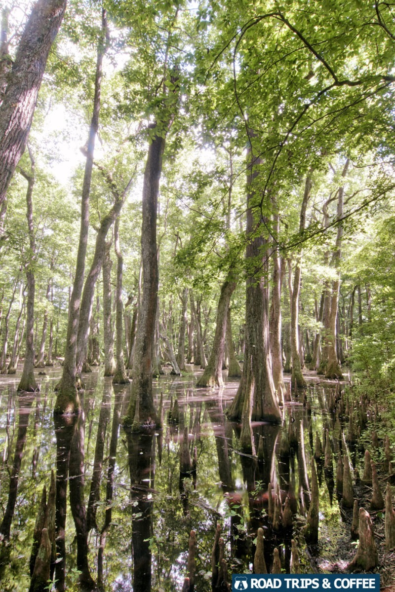 Towering trees in Cypress Swamp on the Natchez Trace Parkway in Mississippi