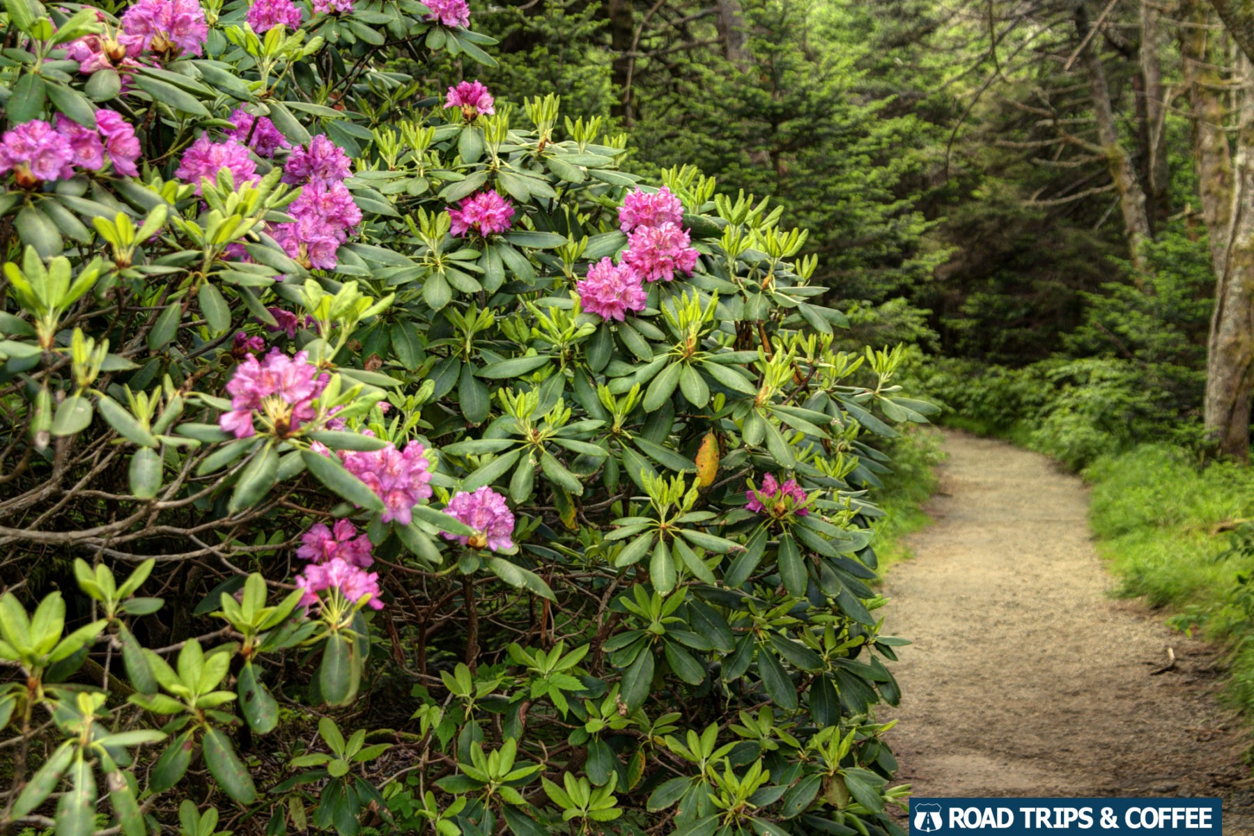 Bright pink bloom of a catawba rhododendron along the trail leading through the Rhododendron Garden on Roan Mountain in Tennessee