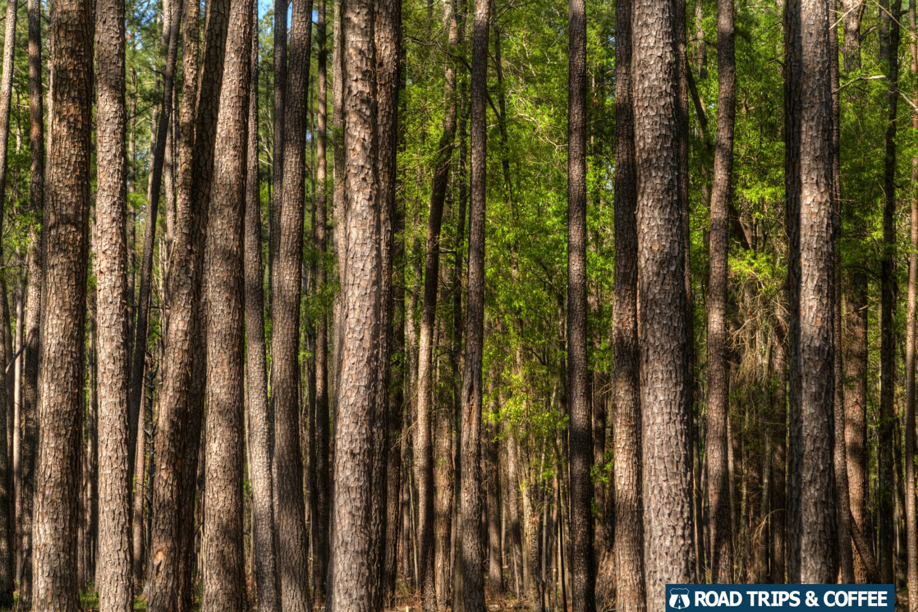 Towering long leaf pine trees along the Bluff Trail in Congaree National Park in South Carolina