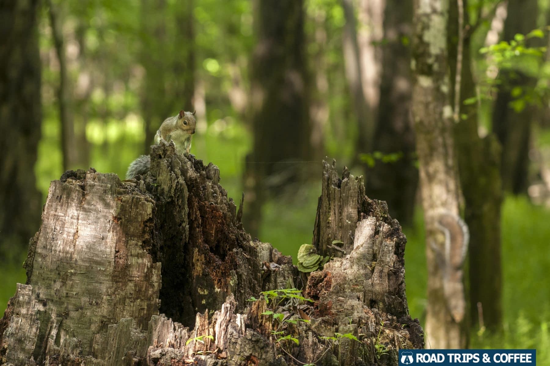 A squirrel sits atop a broken stump of a tree at Congaree National Park in South Carolina