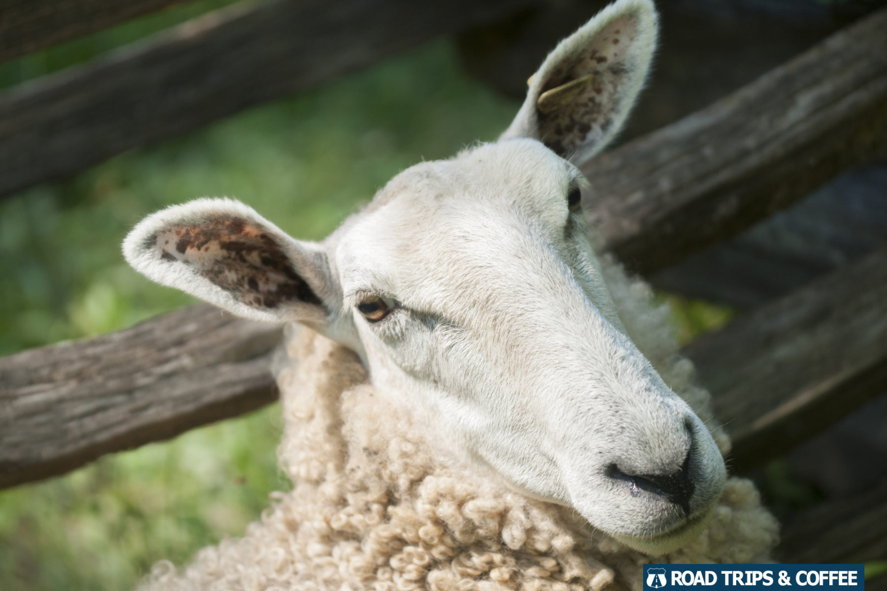 A sheep glares into the camera at Homeplace 1850s Working Farm in Land Between the Lakes National Recreation Area
