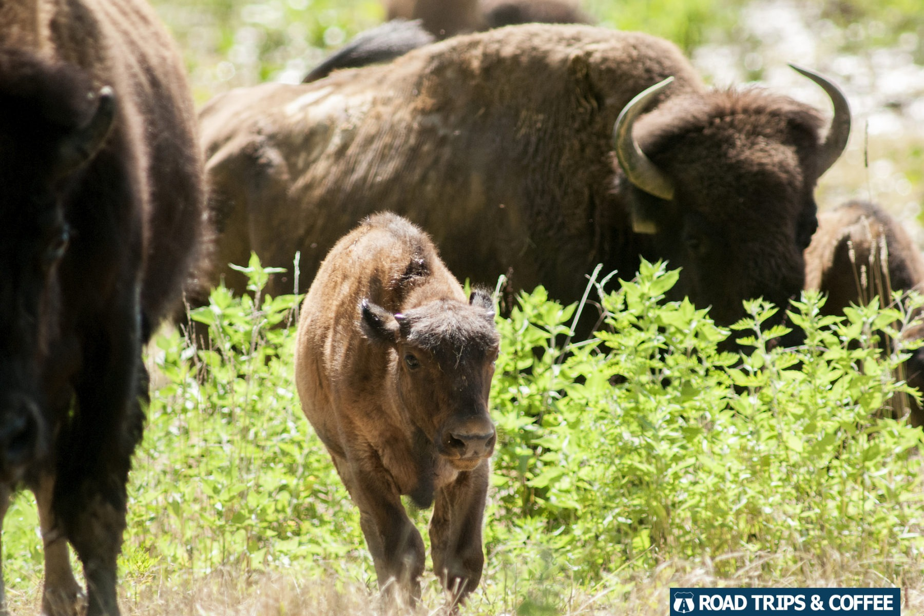 A bison calf runs through a grassy field surrounded by adult bison in the Elk & Bison Prairie at Land Between the Lakes National Recreation Area
