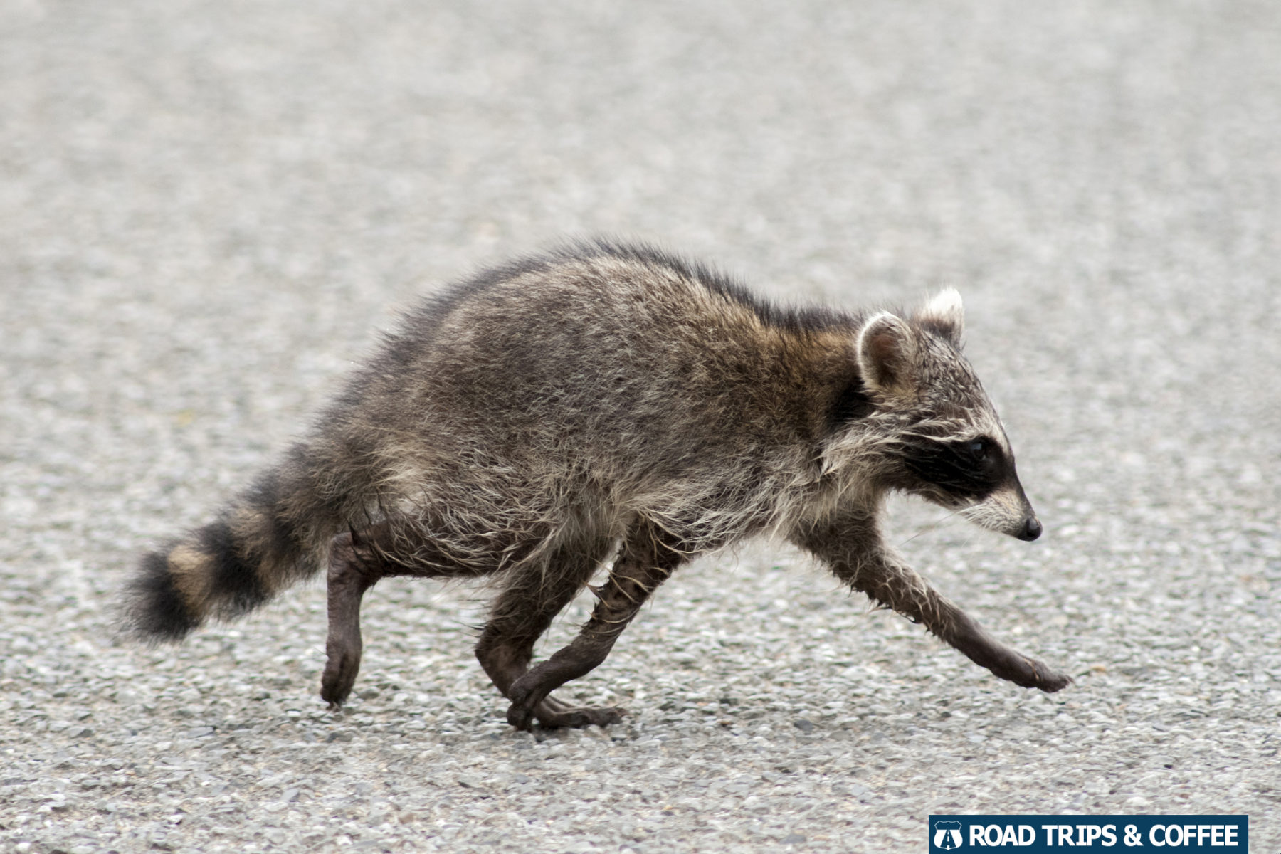 A raccoon crosses the road in the Elk & Bison Prairie in Land Between the Lakes National Recreation Area