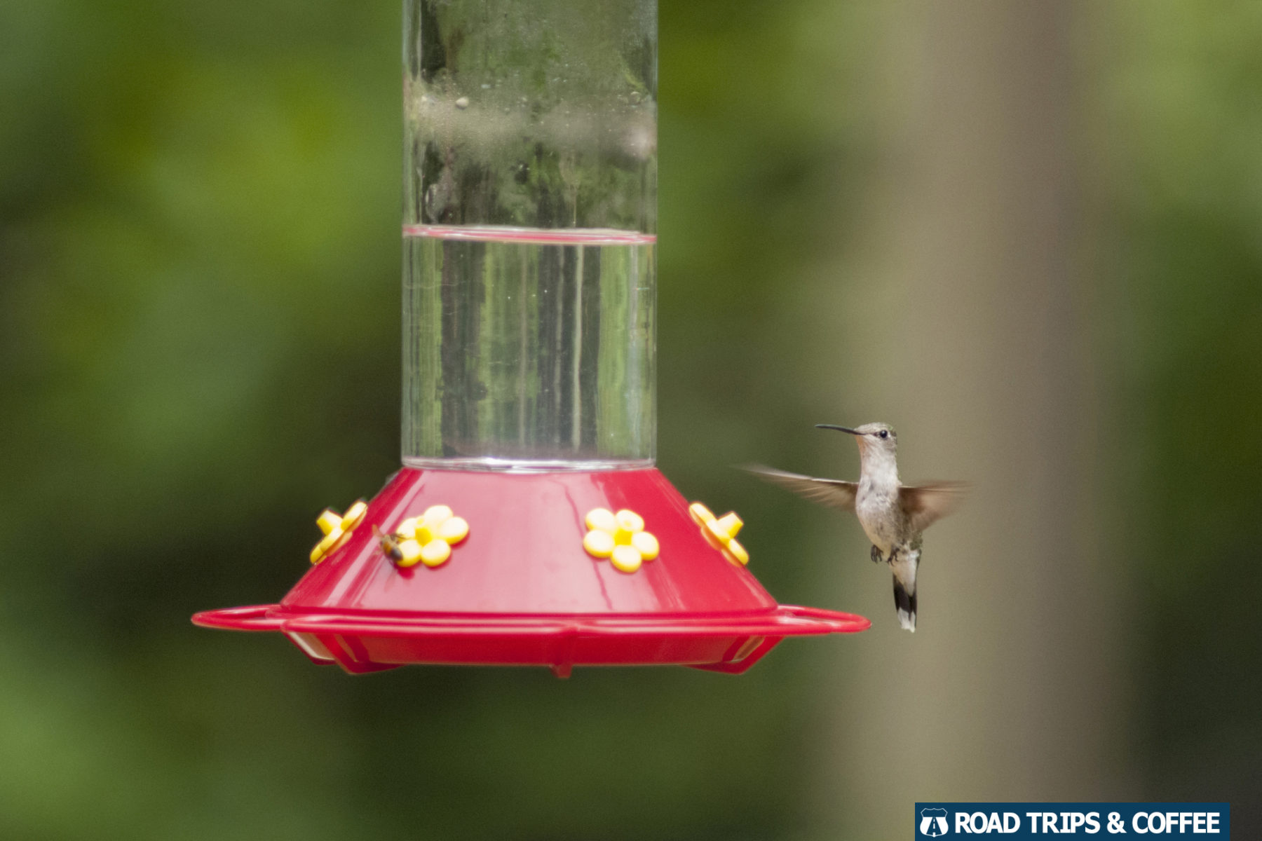 A single hummingbird with wings moving in a blur feeding at the Woodlands Nature Station in Land Between the Lakes National Recreation Area